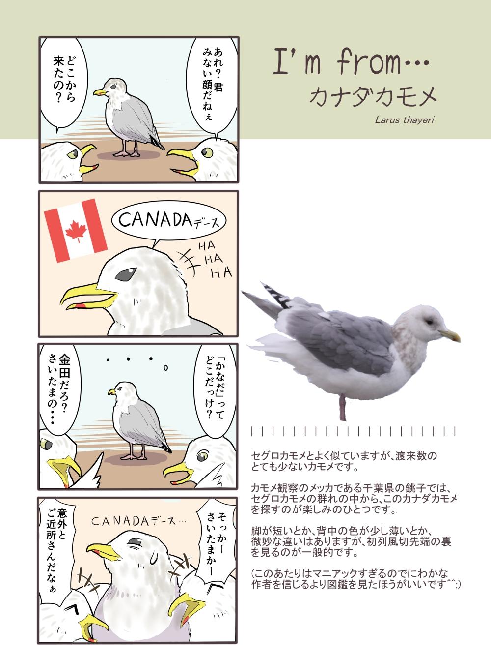 カナダカモメ