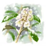 ビワ(花)
