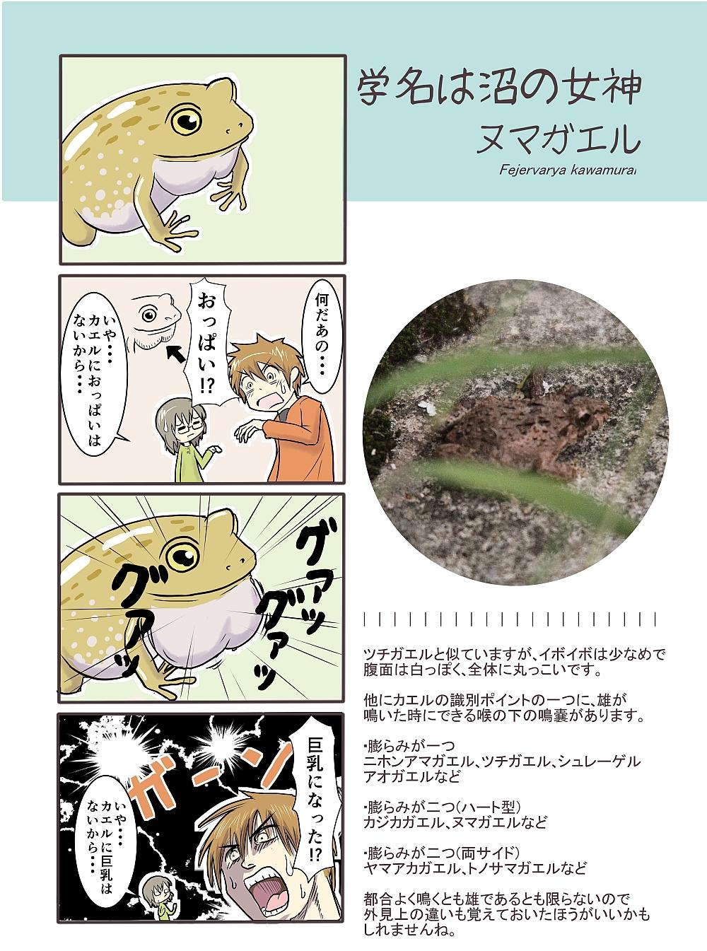 第50種【ヌマガエル】鳴嚢(めい...